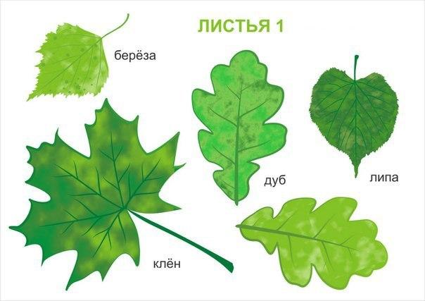 что виды деревьев в картинках их листья это зависит