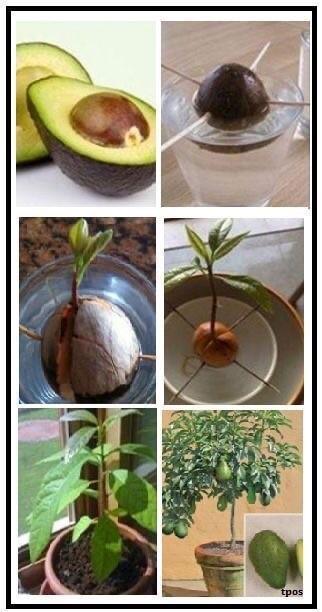 Выращивание авокадо с детьми